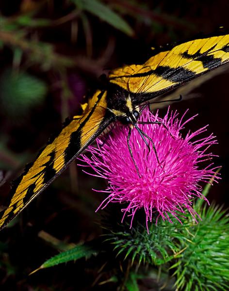 Tiger Swallowtail Buttlerfly