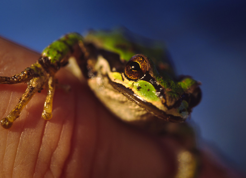 Tree frog on finger