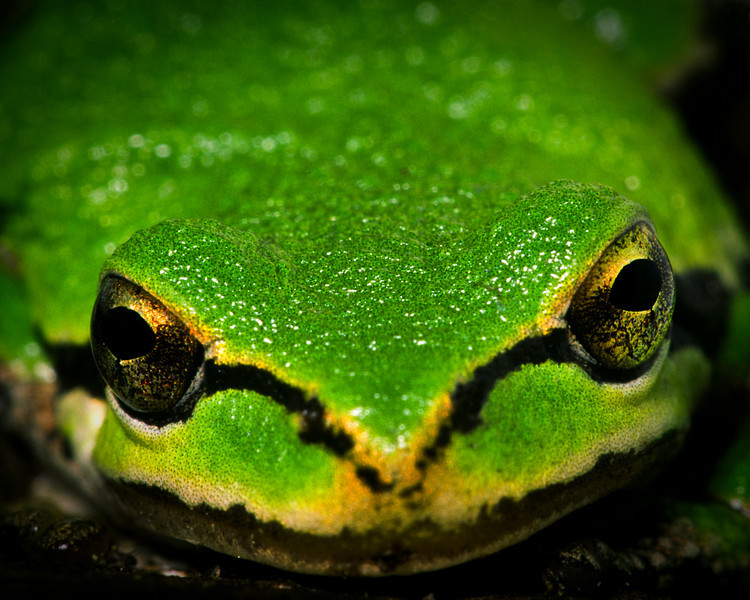 Pacific Tree Frog, up close and personal!