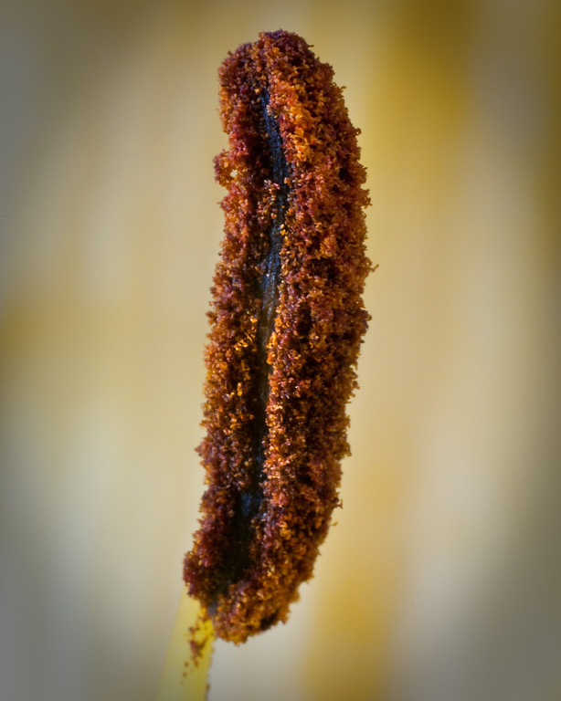 Easter Lily stamen, extreme closeup