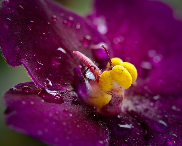 The inner world of the African violet.