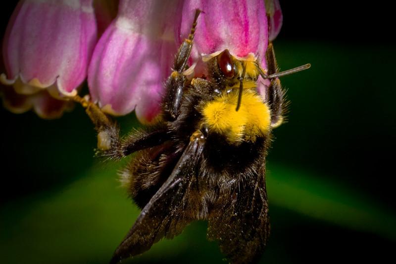 Bumble bee takes comfrey nectar