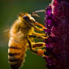active honey bee.