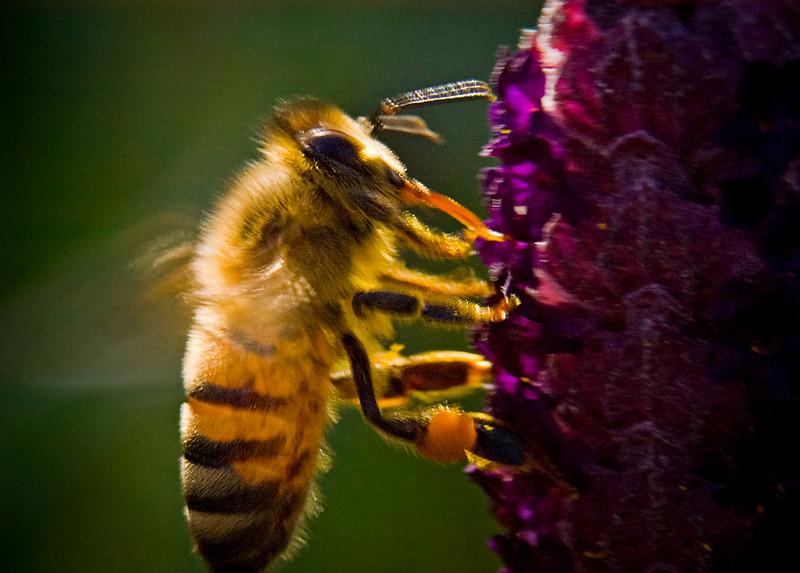 active honey bee.