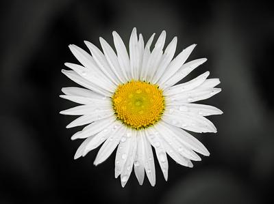 """""""Daisy"""""""