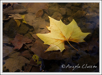 Sycamore leaf in water, near Manhattan, Kansas
