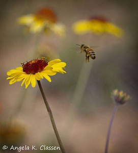Incoming, bee and blanket flower, Grand Junction, Colorado