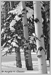 Winter aspens, Grand Mesa, Colorado