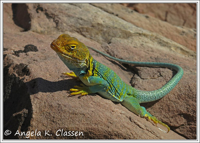 Collared lizard, Colorado National Monument, Grand Junction, Colorado