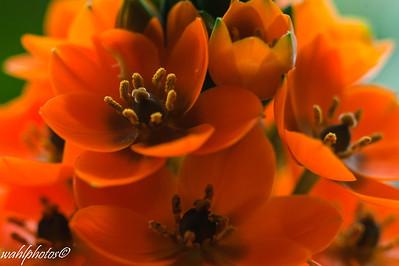 House Plant_Orange Star_-3351