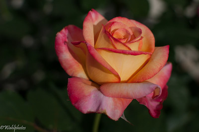 Yellow_Pink_Rose_35mm-5459