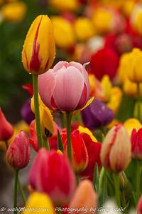 Woodenshoe Tulips_1kx1k_2019-6771