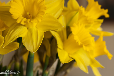 Daffodils-4647