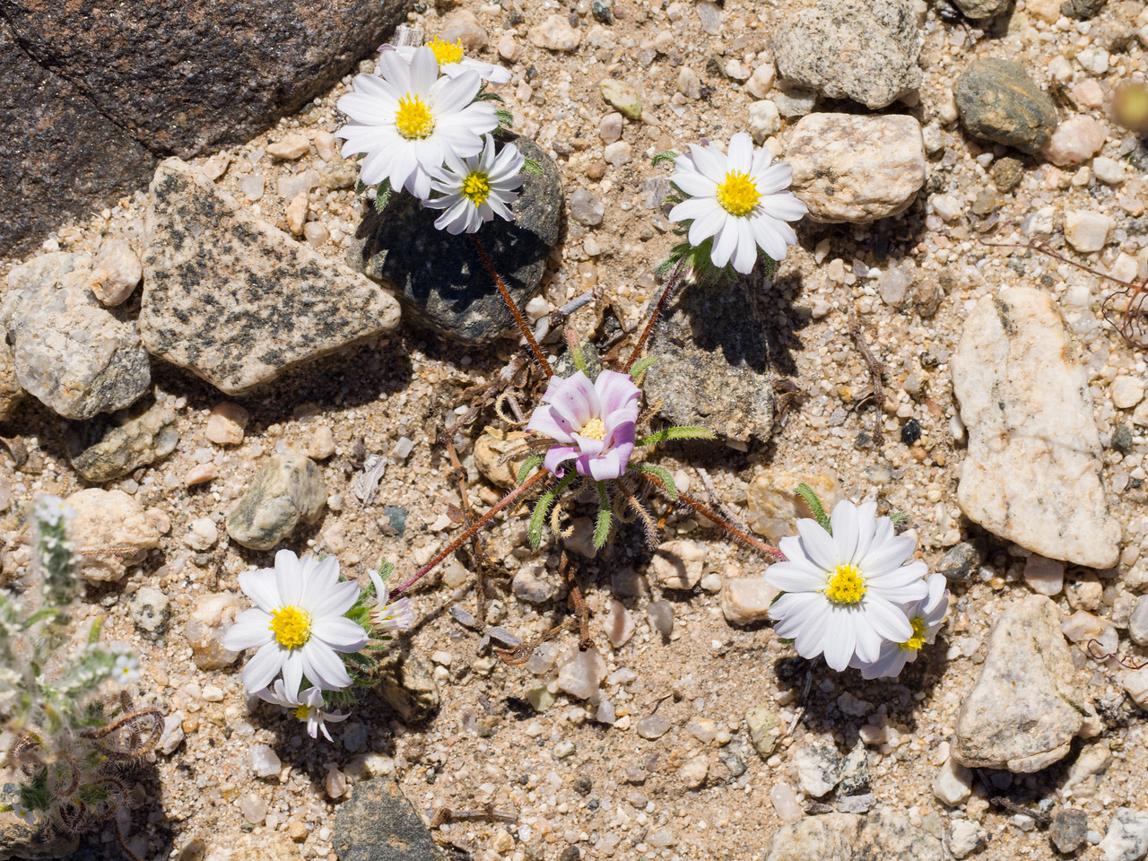 Desert star daisies in interesting formation.