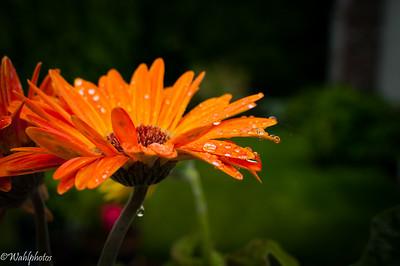 Rain Drop_Orange Gerber Daisy-5715