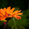 Rain Drop_Orange Gerber Daisy-5715
