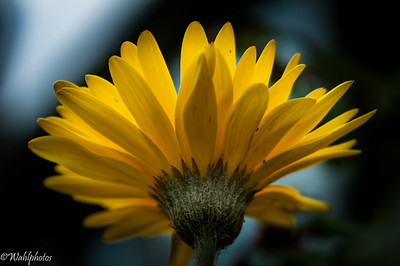 Gerber Daisy_Yellow-6082