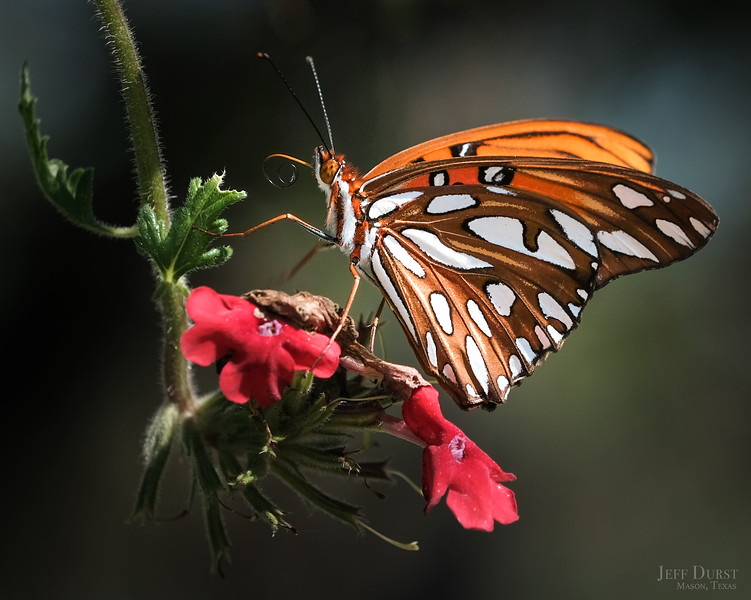 Fritillary Butterfly Clear Sideview 2018-1