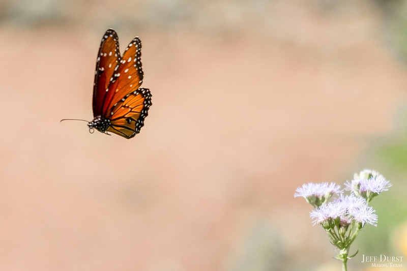 Floating Queen Butterfly-1