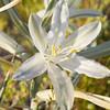 Desert lily in Anza Borrego Desert State Park.