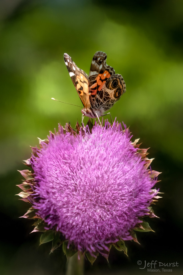 Butterfly on Thistle-1-1-22