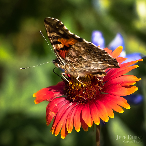 Butterfly on Indian Blanket 2018