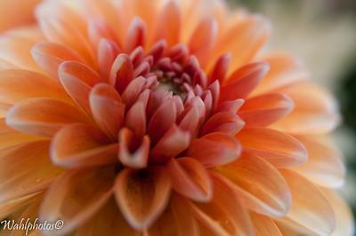 Flowers_Lady Dahlia -6357