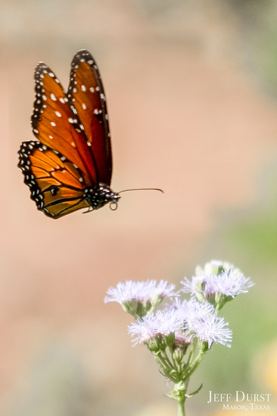 Floating Queen Butterfly-1-Edit