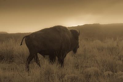 Lone Buffalo in Caprock Canyon