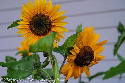 Flowers_Sunflowers_2020 (1 of 1)