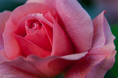 Flowers_Roses_Pink_05222016-3