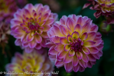 Flowers_Dahlias_08-19-2020 (1 of 1)