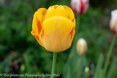 Tulip_Yellow & Red_2020 (1 of 1)