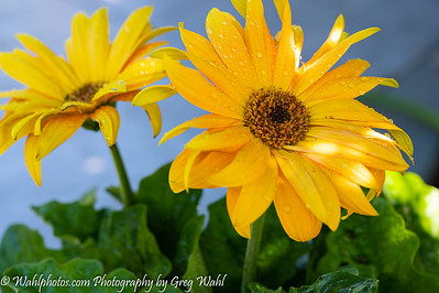 Flowers_ Yellow_2020 (1 of 1)-2