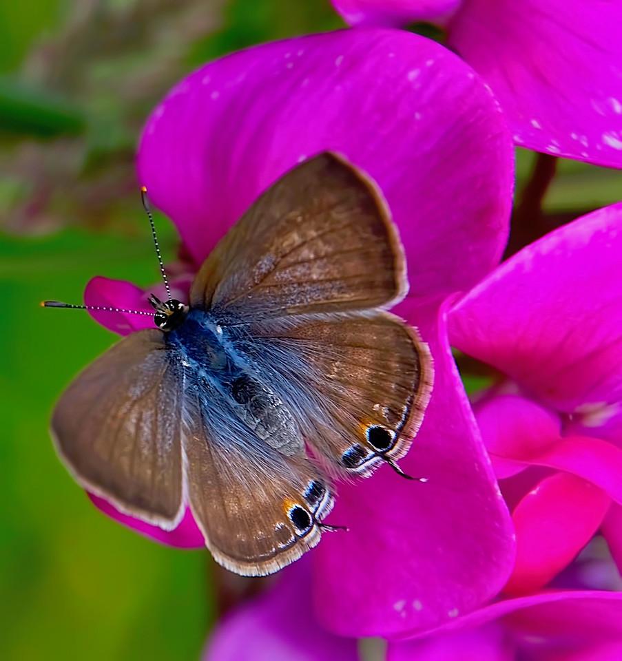Maui Moth