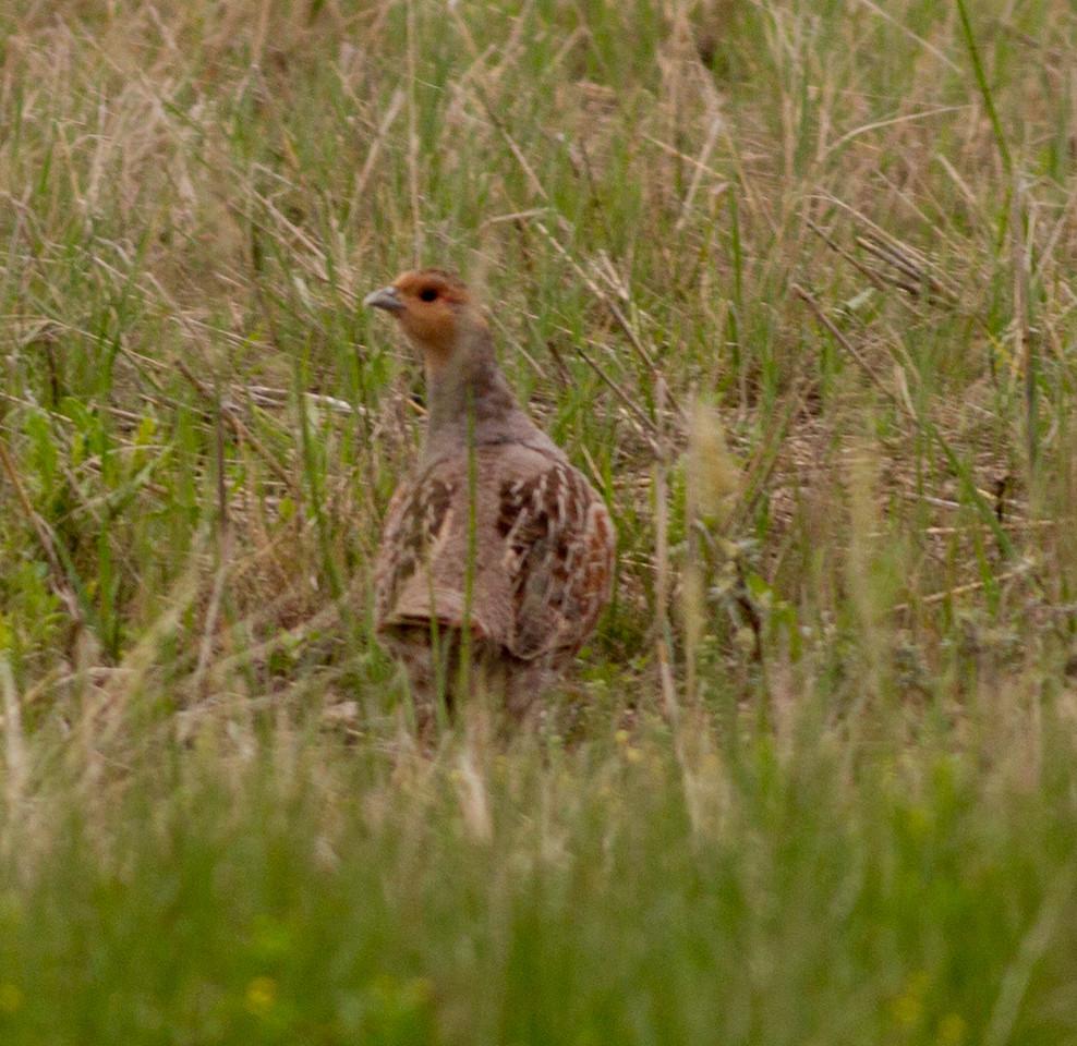 Gray Partridge near Judith Gap Montana 2015 06 13-5.CR2