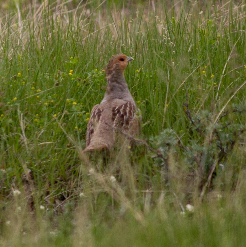 Gray Partridge near Judith Gap Montana 2015 06 13-2.CR2