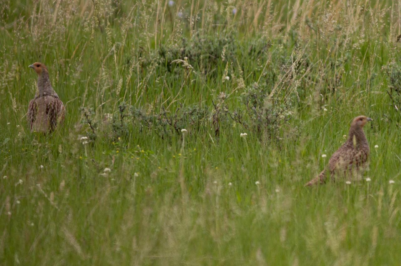 Gray Partridge near Judith Gap Montana 2015 06 13-1.CR2