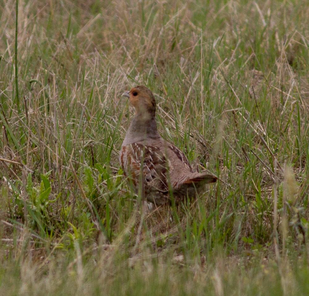 Gray Partridge near Judith Gap Montana 2015 06 13-6.CR2