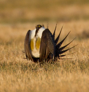 Greater Sage-Grouse  Crowely Lake 2013 04 24 -4.CR2