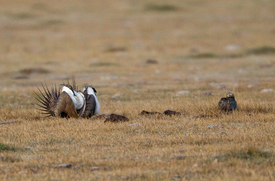 Greater Sage-Grouse  Crowely Lake 2011 04 20-6.CR2