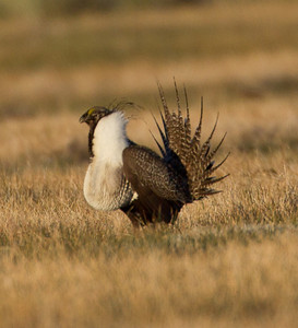 Greater Sage-Grouse  Crowely Lake 2013 04 24 -2.CR2
