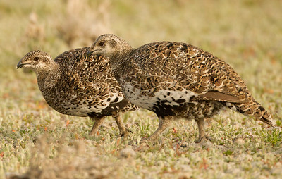 Greater Sage-Grouse  Crowely Lake 2012 07 12-2.CR2