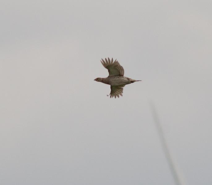 Sharp-tailed Grouse Judith Gap Montana 2015 06 13-2.CR2