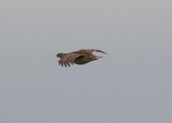 Sharp-tailed Grouse Judith Gap Montana 2015 06 13-6.CR2