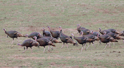 Wild Turkey  Pamo Valley 2014 01 06-1363.CR2