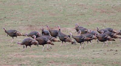 Wild Turkey  Pamo Valley 2014 01 06-1363.CR2