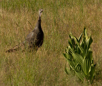 Wild Turkey  Mt. Palomar 2012 06 07 (1 of 2).CR2