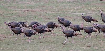 Wild Turkey  Pamo Valley 2014 01 06-1364.CR2