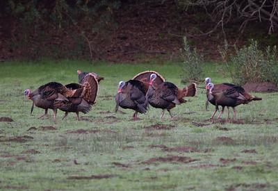 Wild Turkey Pamo Valley 2019 01 20-2.CR2